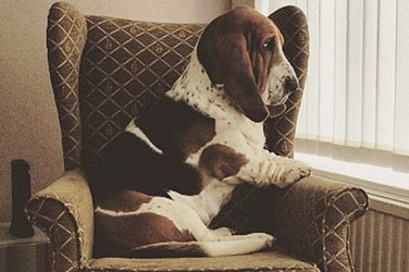 Basset Hound On Chair
