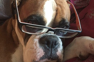 Bulldog With Glasses