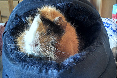 Guinea Pig In Pet Bed