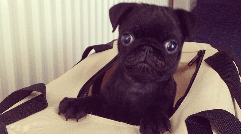 Pug Puppy In Bag